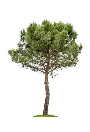 lone pine: aislados de �rboles de pino sobre un fondo blanco Foto de archivo