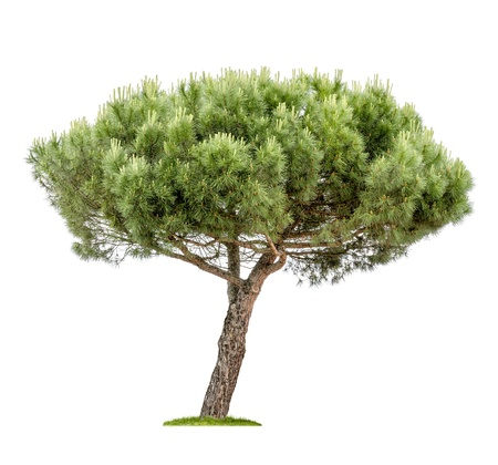 pinaceae: isolated pine tree on a white background