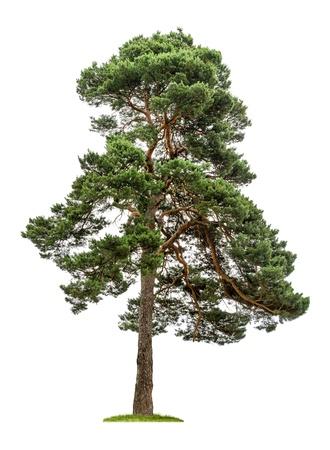 aislado: aislados de ?rboles de pino sobre un fondo blanco