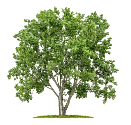 single tree: isolated lime tree on a white background