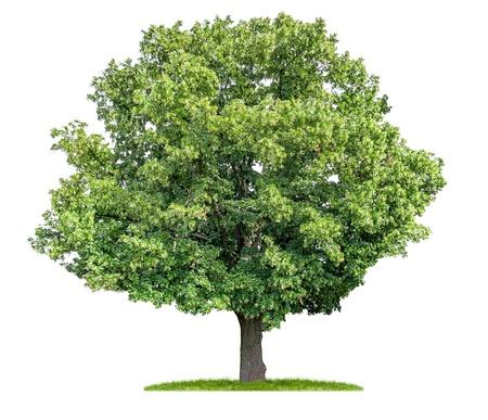 geïsoleerde lindeboom op een witte achtergrond