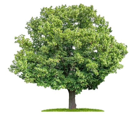linden: isolated lime tree on a white background