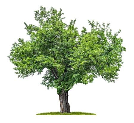 geïsoleerde moerbei boom op een witte achtergrond Stockfoto