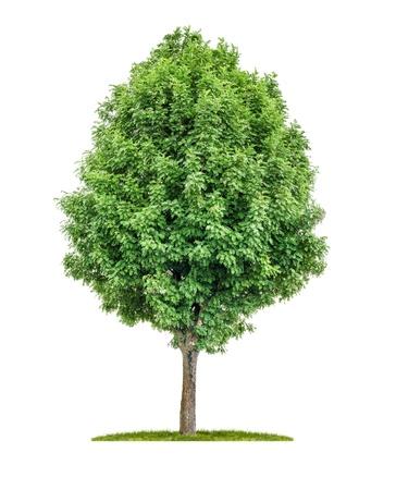 sorbo albero isolato su uno sfondo bianco