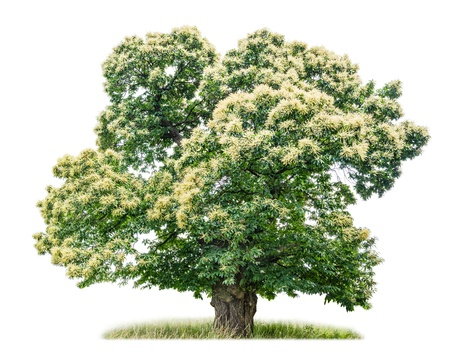 白い背景に分離の栗の木