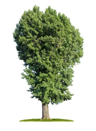 poplar: isolated poplar tree on a white background