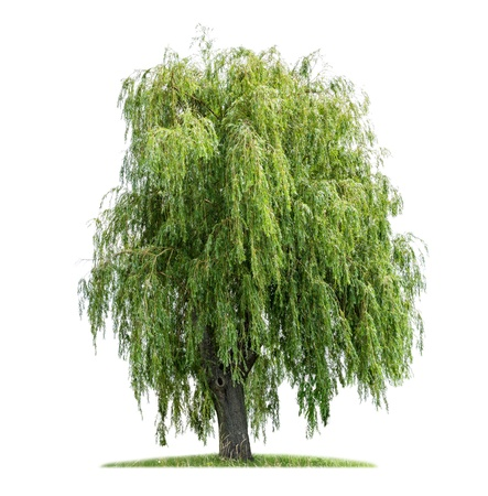 bark: isolated weeping willow on a white background Stock Photo