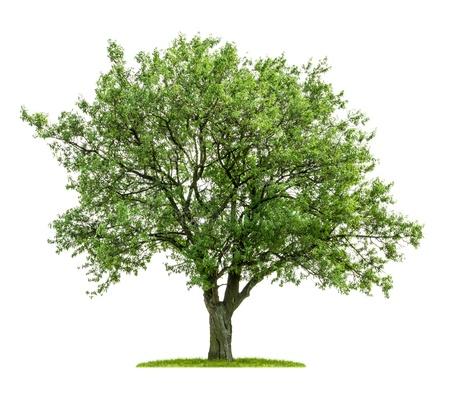 homme détouré: arbre ? feuilles caduques isol? sur un fond blanc