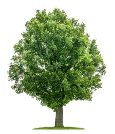 tree bark: isolated oak tree on a white background Stock Photo