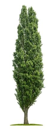 白い背景で隔離されたポプラの木