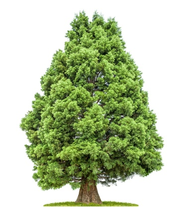 isolated redwood tree on a white background photo