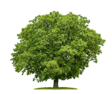 walnut tree: isolated walnut tree on a white background