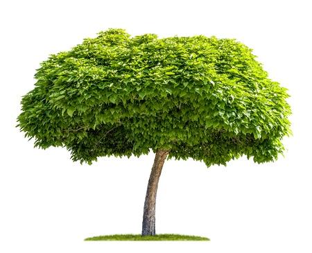 geïsoleerd catalpa boom op een witte achtergrond
