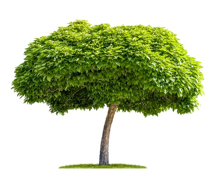 big tree: isolated catalpa tree on a white background