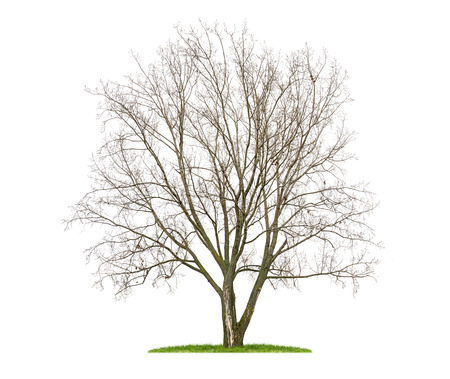 basswood: isolated  lime tree in the winter