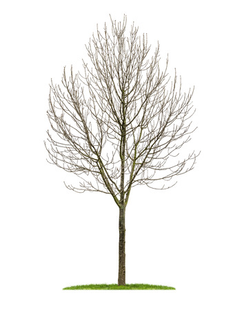 winter trees: isolated deciduous tree in the winter