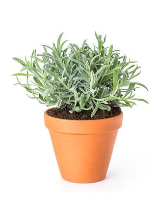 herbs de provence: Lavender in a clay pot