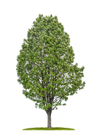 service tree: isolated service tree on a white background Stock Photo