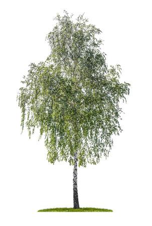흰 배경에 고립 실버 자작 나무