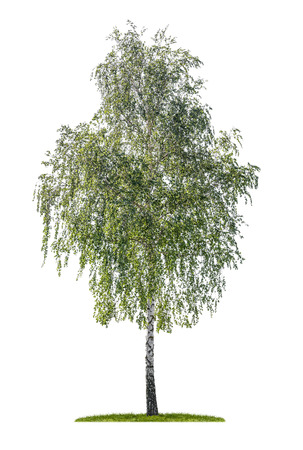 birch: isolated silver birch on a white background Stock Photo