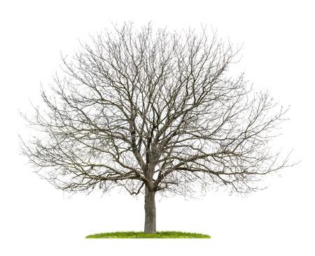 dode bladeren: geïsoleerde notenboom in de winter
