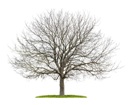 isolated walnut tree in the winter Banco de Imagens
