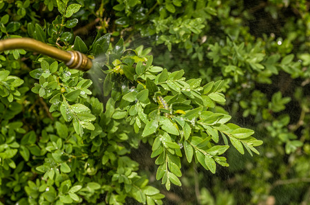 invasive: Box tree moth is sprayed with insecticide Stock Photo