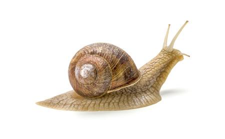 흰색 배경에 부르고뉴 달팽이