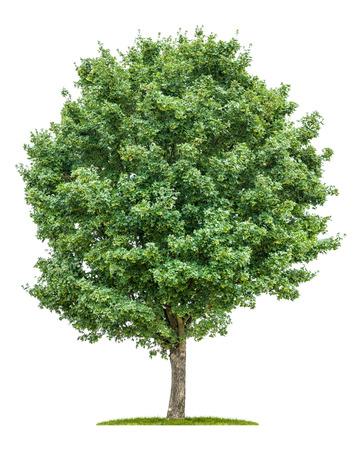 geïsoleerde veld esdoorn boom op een witte achtergrond