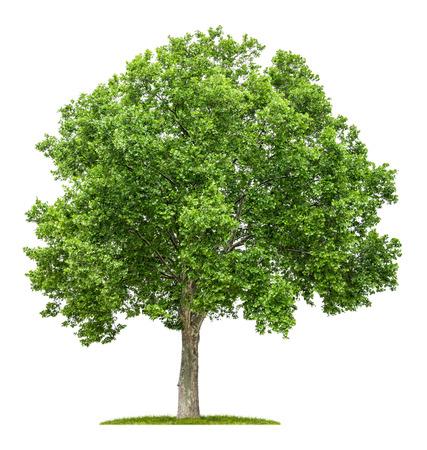 groene boom: geïsoleerde plataan op een witte achtergrond Stockfoto