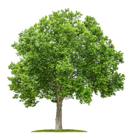 isolated plane tree on a white background Standard-Bild