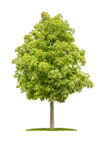 aesculus hippocastanum: isolated horse chestnut tree on a white background