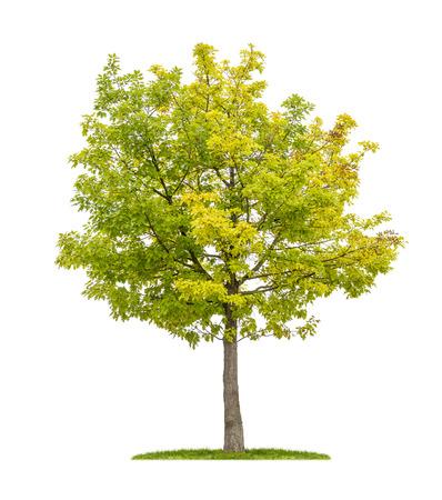 arbre feuille: isol� ch�ne rouge sur un fond blanc Banque d'images