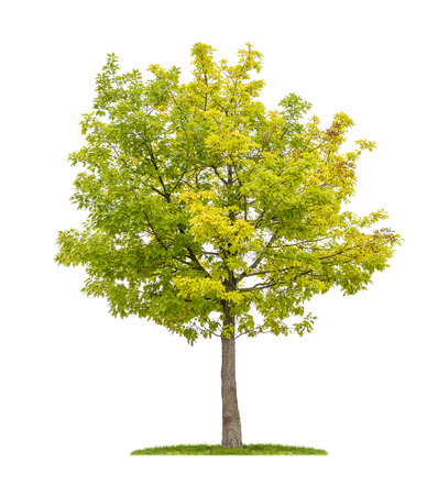 isolated tree: isolated red oak tree on a white background