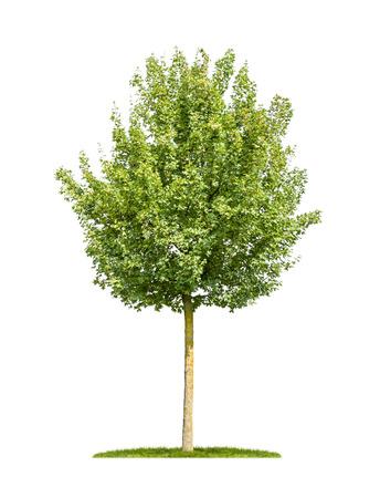 arbre feuille: isol� �rable sur le terrain sur un fond blanc