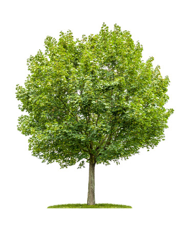 isolated maple tree on a white background Foto de archivo