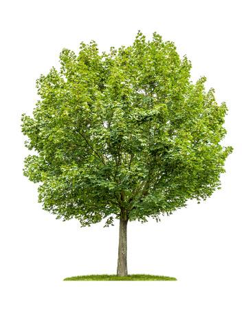 흰색 배경에 고립 된 단풍 나무 스톡 콘텐츠