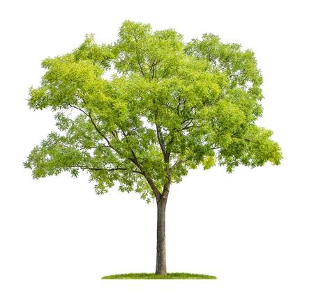 birretes: árbol aislado pagoda sobre un fondo blanco
