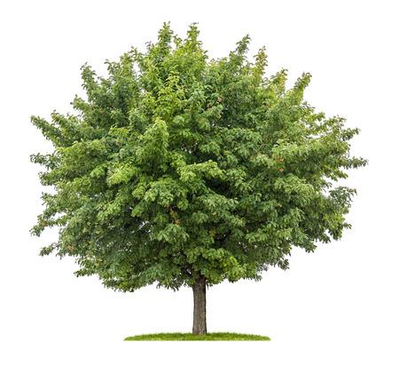 árbol aislado servicio con frutas sobre un fondo blanco