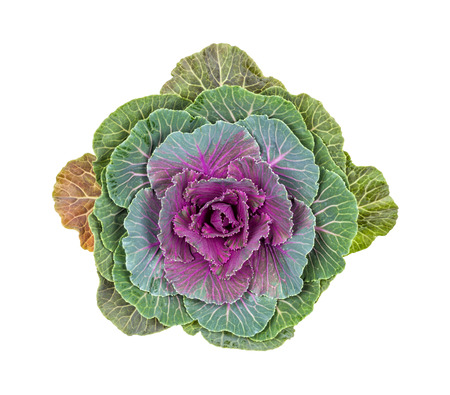 floristics: Purple ornamental cabbage on a white background