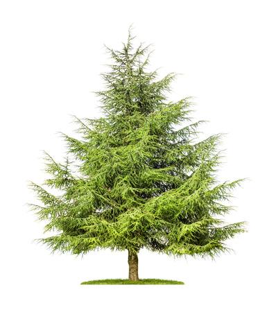 白い背景の上の孤立した杉の木 写真素材