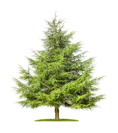 isolated cedar tree on a white background