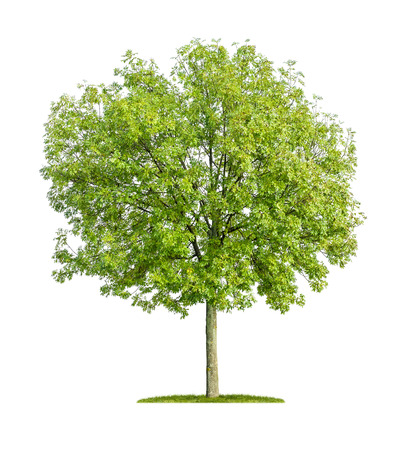ash tree: isolated ash tree on a white background
