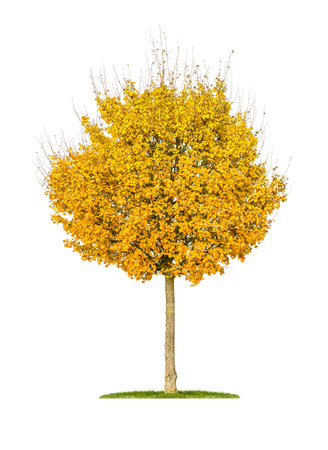 field maple: isolated field maple tree on a white background