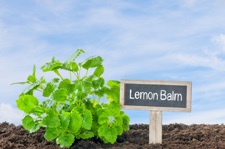 minty: Lemon Balm in the garden with a wooden label