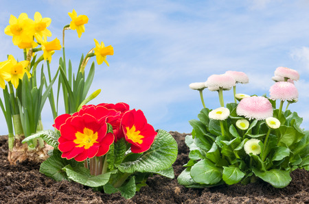 flower bed: Flower Bed with daffolis, primroses and daisies