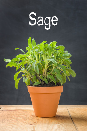 clay pot: Sage in a clay pot on a dark background Stock Photo