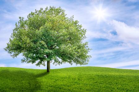 oak: Old oak tree on a green meadow