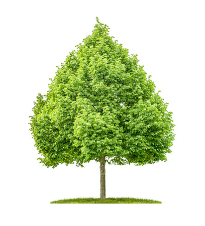 basswood: A lime tree on a white background