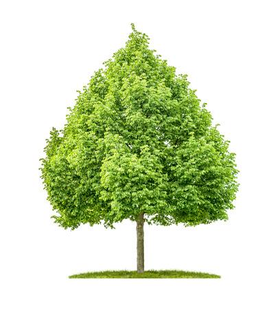 tilo: Un árbol de limón sobre un fondo blanco